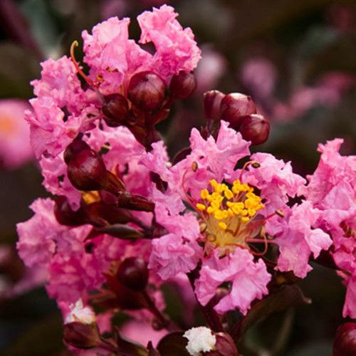 Delta Jazz Crape Myrtle Pink Flowers