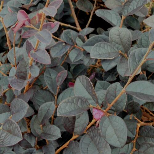 Carolina Midnight Loropetalum Red Leaves