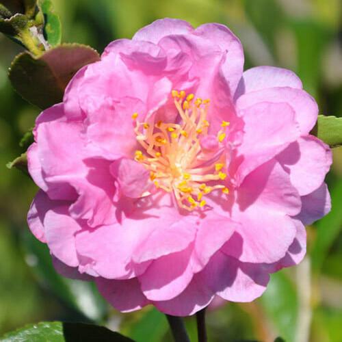 Pink Stella Camellia