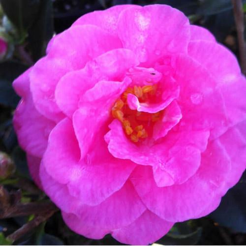 Shi Shi Gashira Camellia Flower