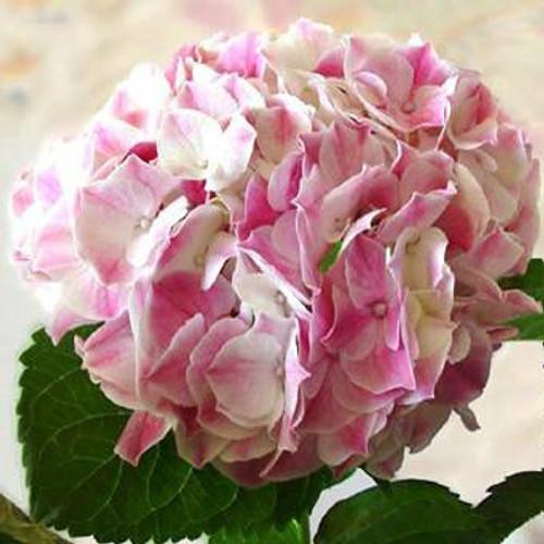 Ravel Hydrangea Bloom