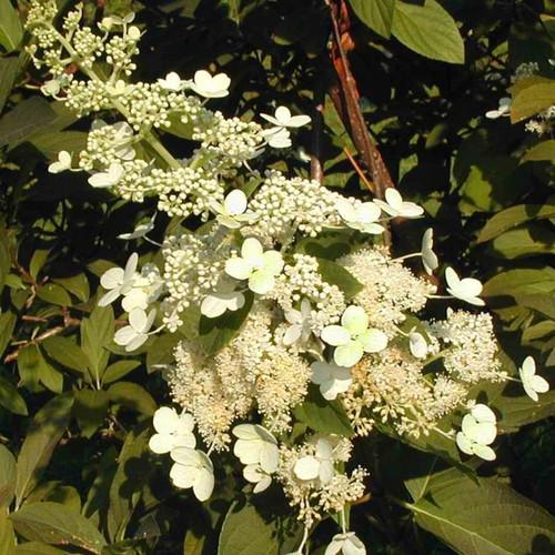 Tardiva Hydrnagea White Flowers