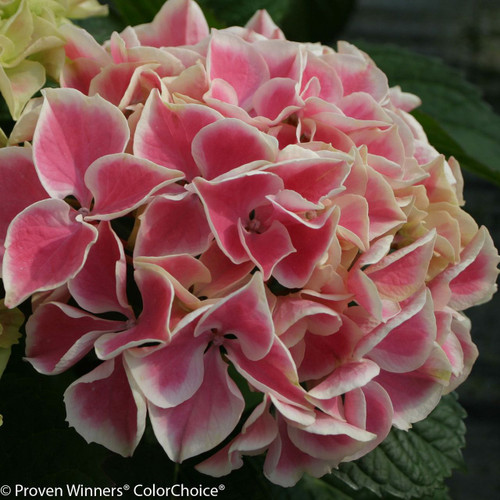 Pink Edgy Hearts Hydrangea Variegated Flower
