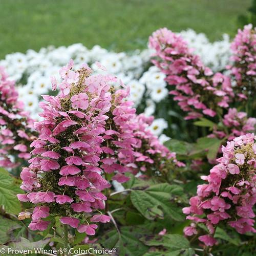 Gatsby Pink Hydrangea Flowers