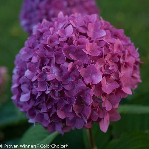 Let's Dance Rave Hydrangea Mophead Flower