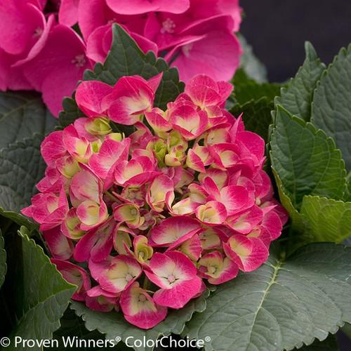 Red Cityline Paris Hydrangea Flowers