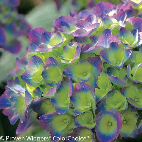 Green, Blue and Purple Cityline Rio Hydrangea Flower Head