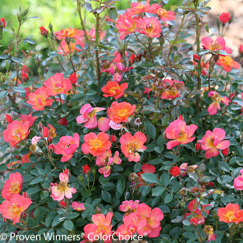 Oso Easy Hot Paprika Rose Foliage and Flowers