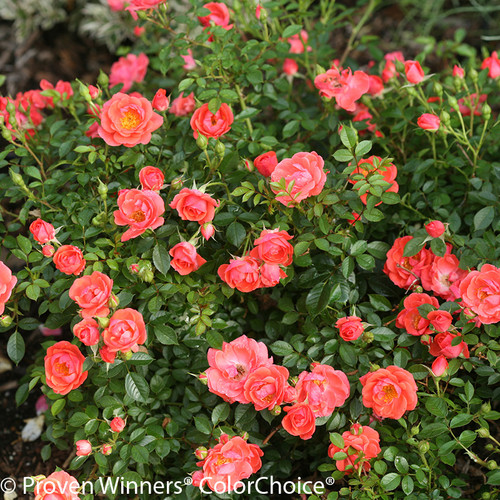 Oso Easy Mango Salsa Rose Foliage and Flowers