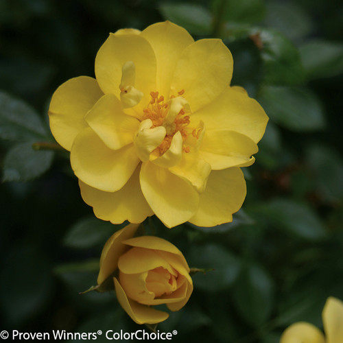 Yellow Oso Easy Lemon Zest Rose Flower Close Up