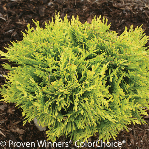 Short Annas Magic Ball Arborvitae Shrub