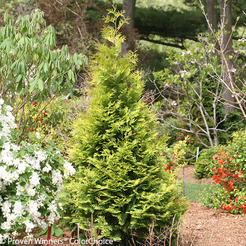 Polar Gold Arborvitae Shrub