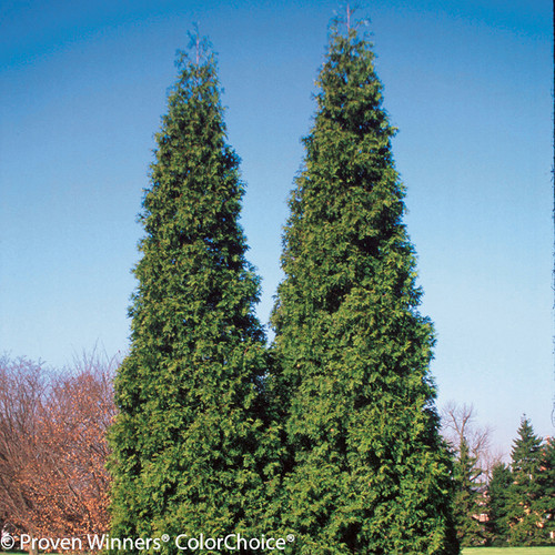 Tall Spring Grove Arborvitae Shrubs