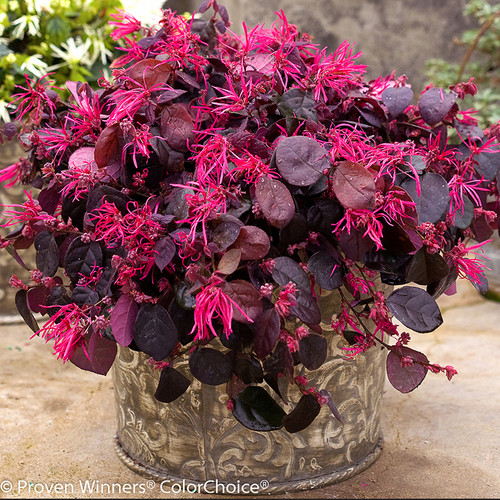 Jazz Hands Bold Loropetalum With Dark Foliage and Bright Flowers in Garden Planter