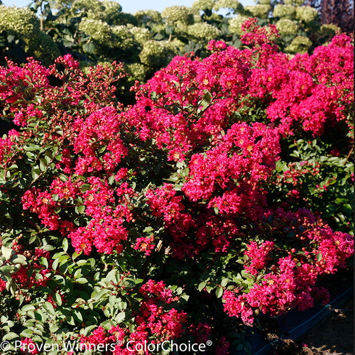 Infinitini Watermelon Crape Myrtle Foliage and Flowers