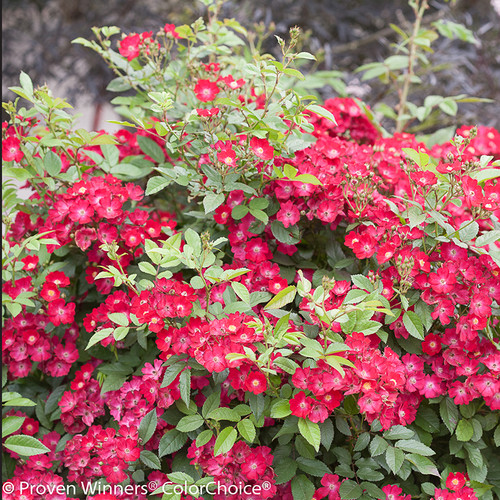 Oso Happy Candy Oh! Rose Shrub Covered in Flowers