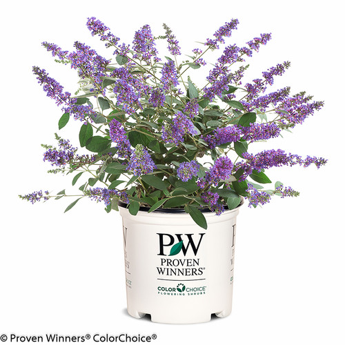 Lo and Behold Blue Chip Jr Butterfly Bush in Proven Winners Pot