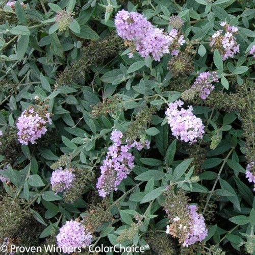 Lo and Behold Lilac Chip Butterfly Bush Foliage and Flowers