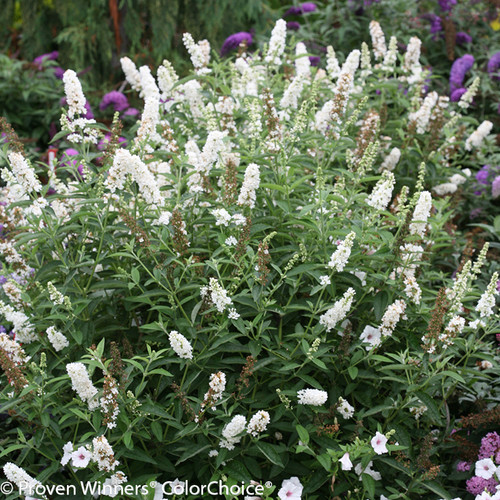 Large Miss Pearl Butterfly Bush Blooming