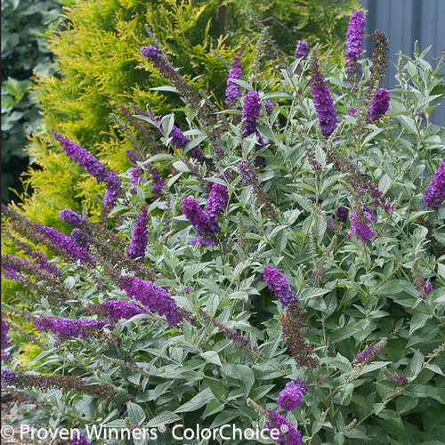 Miss Violet Butterfly Bush Blooming
