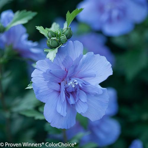 Blue Chiffon Rose of Sharon Flower Close Up