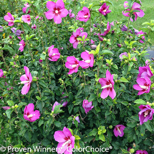 Lil Kim Violet Rose of Sharon Shrub Covered in Blooms