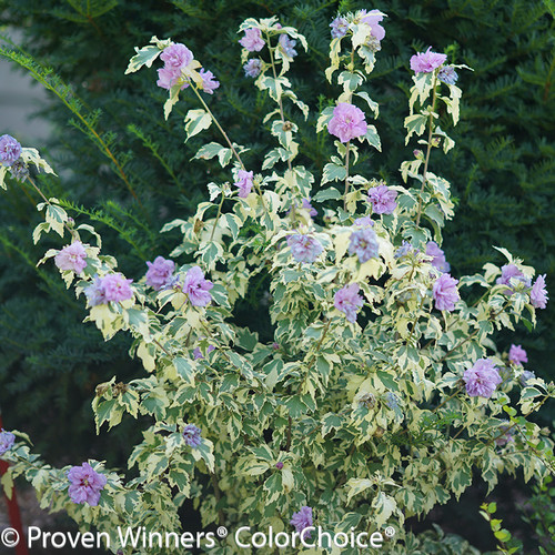 Sugar Tip Gold Rose of Sharon Shrub Flowering