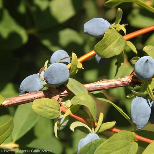 Yezberry Solo Haskap Berries up Close