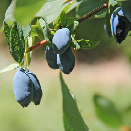 Yezberry Sugar Pie Haskap Berries Up Close-