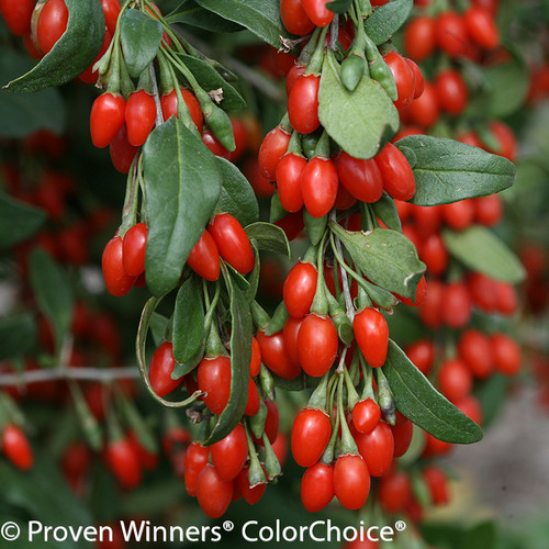 Sweet Lifeberry Goji Berries Growing in a Cluster