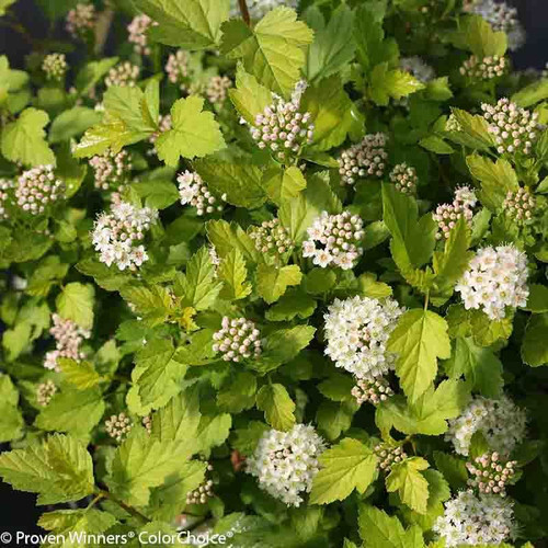 Tiny_Wine_Gold_Ninebark_Foliage_and_Blooms