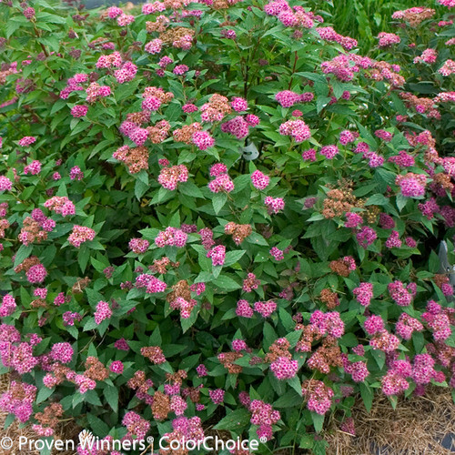 Double Play Artisan Spirea Shrub Covered in Flowers