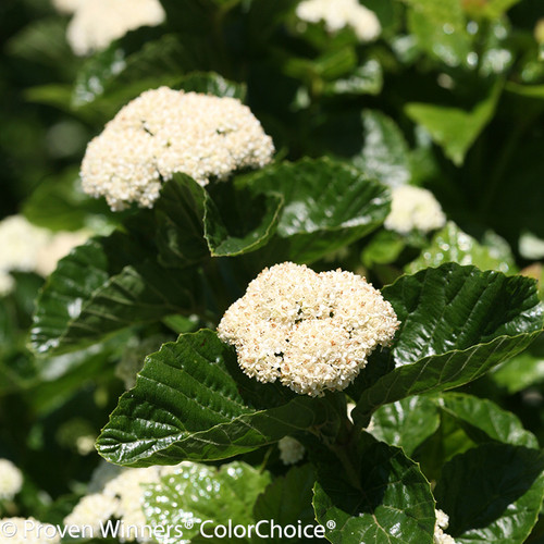 All That Glitters Viburnum Flowering