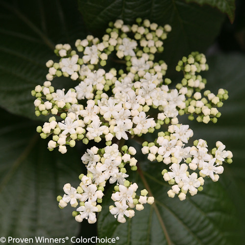 Shiny Dancer Viburnum Flowers