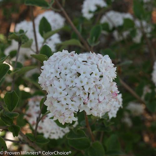 White Spice Baby Viburnum Flowers