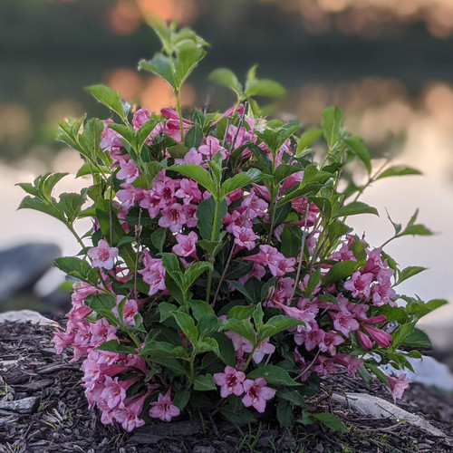 Sonic Bloom Pure Pink Weigela Shrub Covered in Flowers