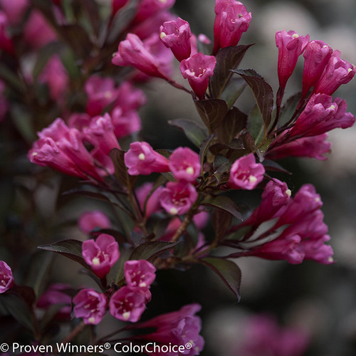 Wine and Roses Weigela Foliage and Flowers Close Up