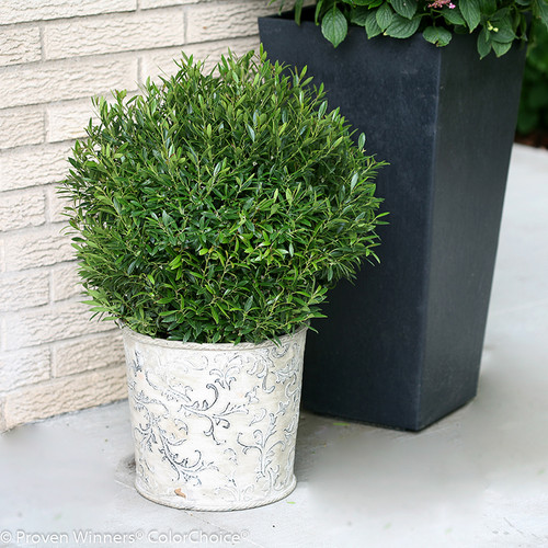 Gem Box Inkberry Holly Bush in Garden Planter