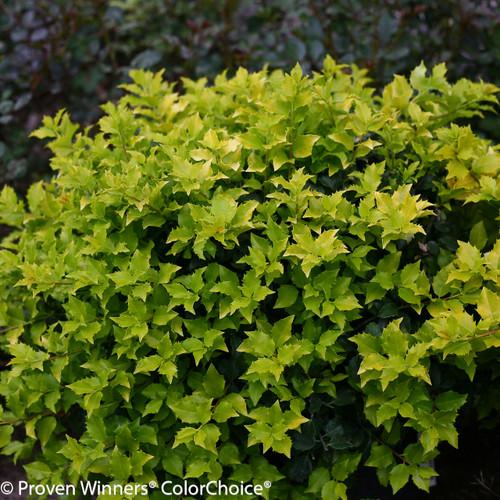 Pharos Gold Blue Holly Shrub Foliage