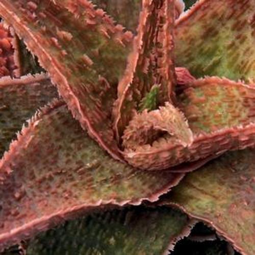 Retro Succulents Angelo Aloe Succulent
