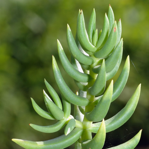 Crassula Mini Pine Tree Succulent Up Close