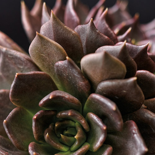 Black Prince Echeveria Succulent Up Close