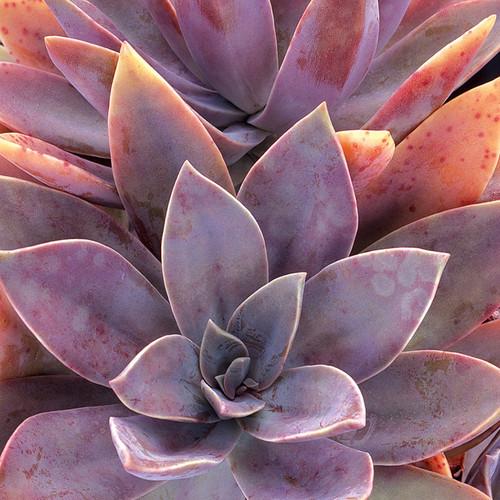 Red Fred Ives Graptoveria Succulent Up Close