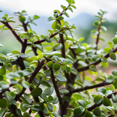 Elephant Bush Jade Tree Leaves and Branches