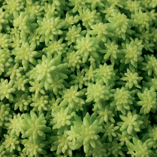 Fine Leaf Gold Sedum Stonecrop