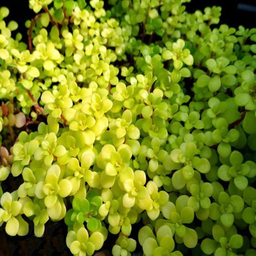 Golden Japanese Sedum Stonecrop