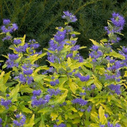 Lil Miss Sunshine Bluebeard Bush with Blue Purple Flowers
