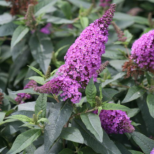 Pugster Periwinkle Butterfly Bush with Purple Flowers