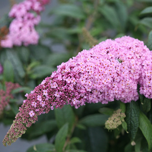 Pugster Pink Butterfly Bush with Large Pink Blooms