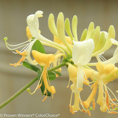 Scentsation Honeysuckle White Yellow Blooms Up Close